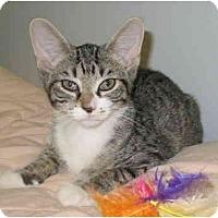 Adopt A Pet :: Bootsie kitten - Cincinnati, OH