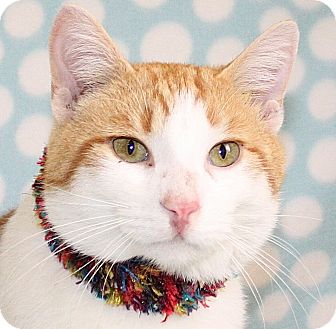 Domestic Shorthair Cat for adoption in Jackson, Michigan - Nic Cage
