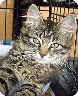 Maine Coon Kitten for adoption in Germantown, Maryland - Tay and Ty - At Petco