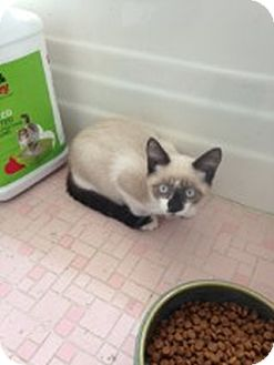 Siamese Kitten for adoption in Knoxville, Tennessee - Coco
