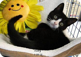 Domestic Shorthair Kitten for adoption in Orlando, Florida - Toby