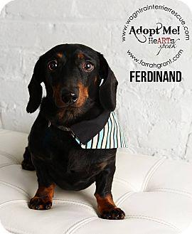 Dachshund Dog for adoption in Omaha, Nebraska - Ferdinand