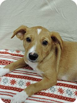 Chihuahua Mix Dog for adoption in Brookings, South Dakota - Kevin