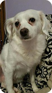 Cavalier King Charles Spaniel Dog for adoption in Lisbon, Iowa - Faith