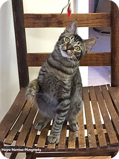 Domestic Shorthair Kitten for adoption in Chattanooga, Tennessee - Anthony Purrkins