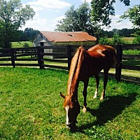 Saddlebred Mix for adoption in Shelbyville, Kentucky - Maggie