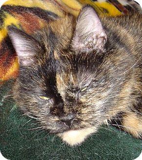 Domestic Shorthair Cat for adoption in Lansing, Kansas - Lena