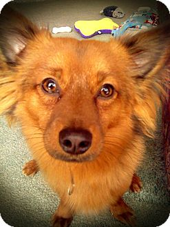 Papillon Mix Dog for adoption in West Allis, Wisconsin - Marco - Adoption Pending