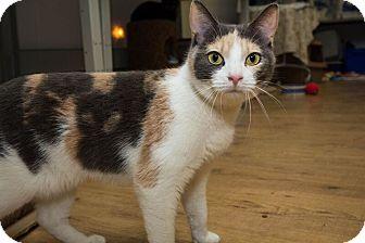 Domestic Shorthair Cat for adoption in Acushnet, Massachusetts - Fern