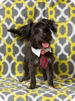 Yorkie, Yorkshire Terrier/Poodle (Miniature) Mix Dog for adoption in Troy, Michigan - Blake