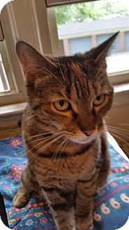Domestic Shorthair Cat for adoption in West Orange, New Jersey - Athena
