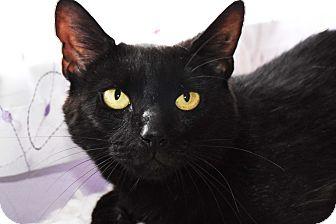 Domestic Shorthair Cat for adoption in Bristol, Connecticut - Tamara
