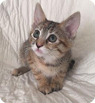American Shorthair Kitten for adoption in Meridian, Idaho - Caramel