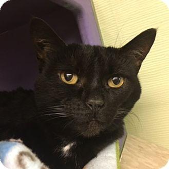 Domestic Shorthair Cat for adoption in Medina, Ohio - Gracie