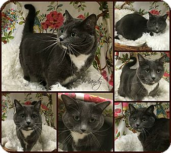 Domestic Shorthair Cat for adoption in Joliet, Illinois - Mandy
