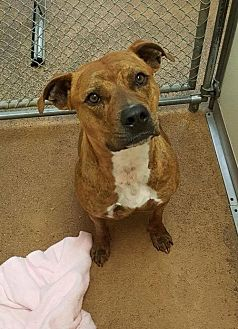 Pit Bull Terrier Mix Dog for adoption in Centerburg, Ohio - Skylar