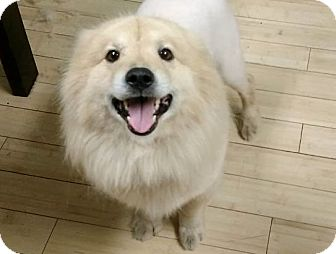 Chow Chow/Golden Retriever Mix Dog for adoption in Salem, West Virginia - Teddy