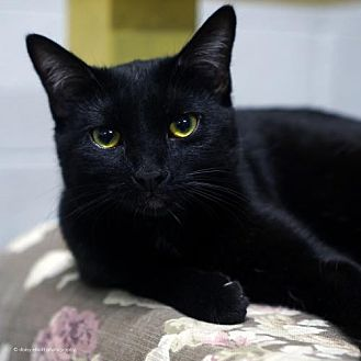 Domestic Shorthair Cat for adoption in Tucson, Arizona - Padme