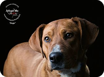 Labrador Retriever/Collie Mix Dog for adoption in New Milford, Connecticut - Sage
