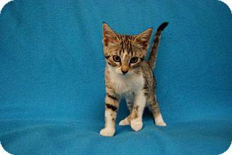 Domestic Shorthair Kitten for adoption in Orlando, Florida - Aurora
