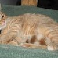 Domestic Shorthair Cat for adoption in Powell, Ohio - Frisky