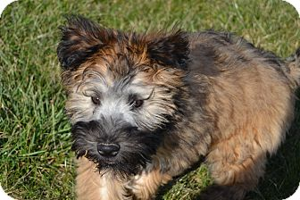 Wheaten Terrier Puppy for adoption in Germantown, Ohio - Rosey