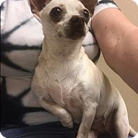 Adopt A Pet :: Snow - Hurst, TX