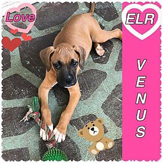Boxer/Basset Hound Mix Puppy for adoption in Wichita Falls, Texas - Venus