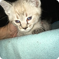 Siamese Kitten for adoption in Tracy, California - Harry