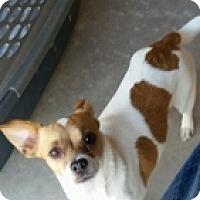 Adopt A Pet :: Cynthia Rose - Mesa, AZ