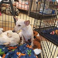 Adopt A Pet :: Pancho - Brownsville, TX