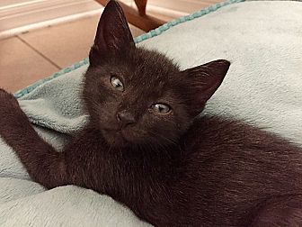 Domestic Shorthair Kitten for adoption in Tampa, Florida - Chowder