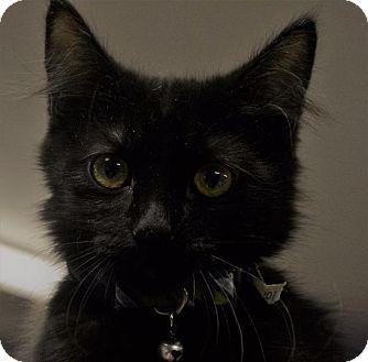 Domestic Shorthair Kitten for adoption in Pahrump, Nevada - Maui