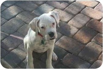 Boxer Puppy for adoption in LAS VEGAS, Nevada - Lucky