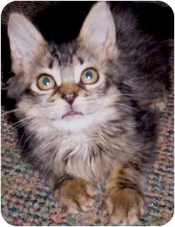 Maine Coon Kitten for adoption in Flagstaff, Arizona - Mattie