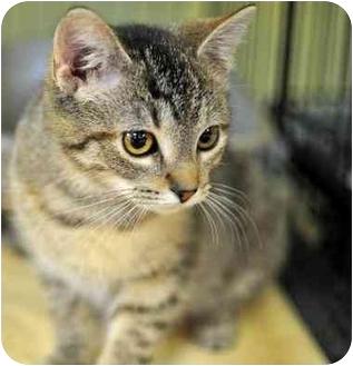 Domestic Shorthair Kitten for adoption in Byron Center, Michigan - Jaclyn