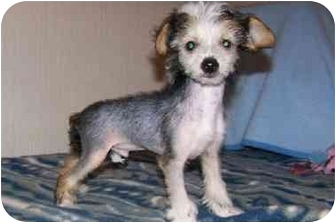Chinese Crested Mix Puppy for adoption in Salem, Oregon - Sammy