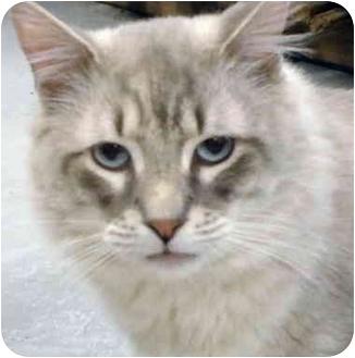 Ragdoll Cat for adoption in Quail Valley, California - Simon