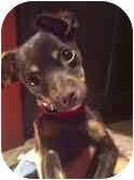 Chihuahua/Miniature Pinscher Mix Puppy for adoption in Encino, California - Scrappy