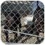 Photo 2 - Mastiff/Fila Brasileiro Mix Puppy for adoption in Encinitas, California - Jedd