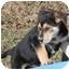 Photo 3 - German Shepherd Dog Mix Puppy for adoption in Salem, New Hampshire - Blitzen