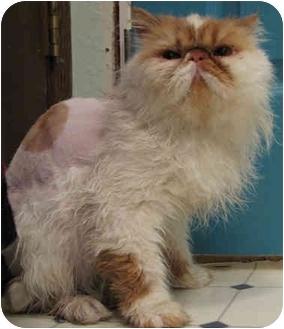 Persian Cat for adoption in Davis, California - Hobbes