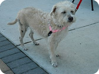 Terrier (Unknown Type, Small)/Terrier (Unknown Type, Small) Mix Dog for adoption in Umatilla, Florida - Emily
