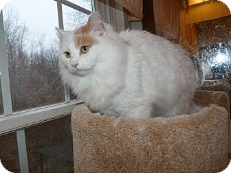 Turkish Van Cat for adoption in Stafford, Virginia - Miley-pending adoption