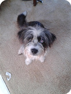 Shih Tzu Mix Dog for adoption in Cranford, New Jersey - Foo Foo