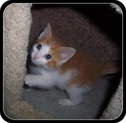 Domestic Shorthair Kitten for adoption in South Plainfield, New Jersey - Ajay