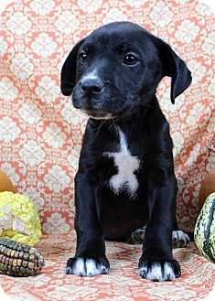 Retriever (Unknown Type)/American Pit Bull Terrier Mix Puppy for adoption in Westminster, Colorado - Cormac