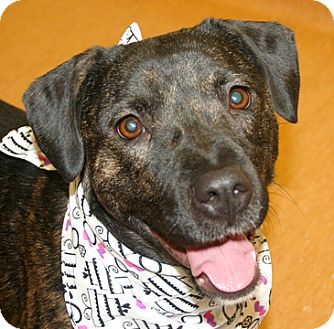 Labrador Retriever Mix Dog for adoption in Cincinnati, Ohio - Baya