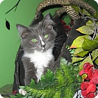 Adopt A Pet :: Sassoon - Clearfield, UT
