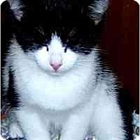 Adopt A Pet :: Kitten 2 - Jacksonville, FL